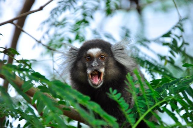 Macaco carioca
